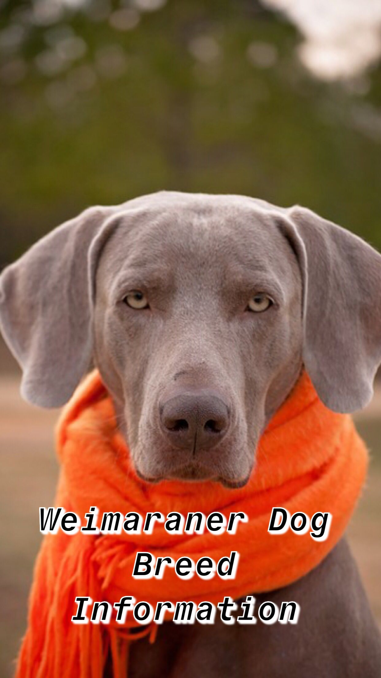 Ultimate Weimaraner Dog Breed Information Weimaraner