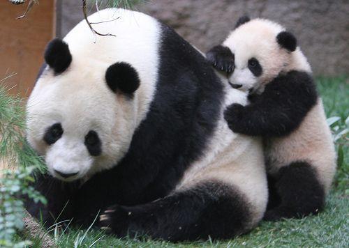 Bai Yun receives some love bites from baby panda Yun Zi