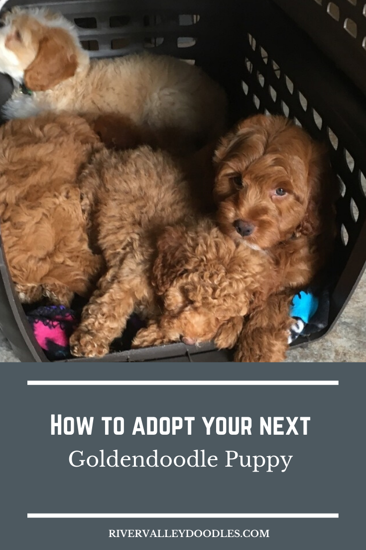 We Provide Forever Support By Our Private Owners Group On Fb And Our Continued Presence On Social Media In 2020 Goldendoodle Puppy Goldendoodle Breeders Goldendoodle