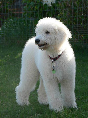 Goldendoodle So Cute But This One S Coat Is Soooo White Would Be Hard To Keep Clean Goldendoodle Goldendoodle Puppy Mini Goldendoodle