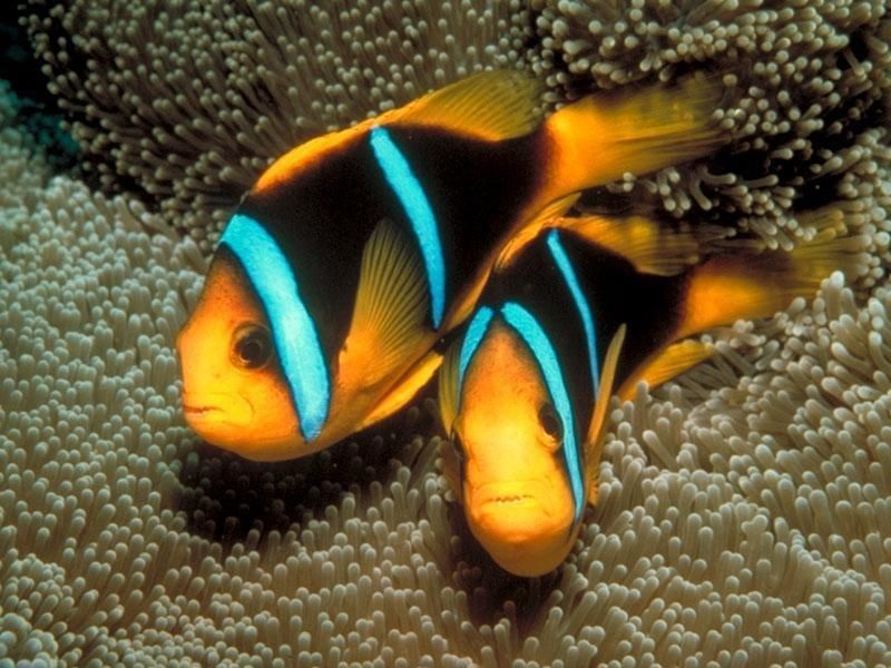 Tropical fish are generally those fish found in aquatic for Exotic saltwater fish