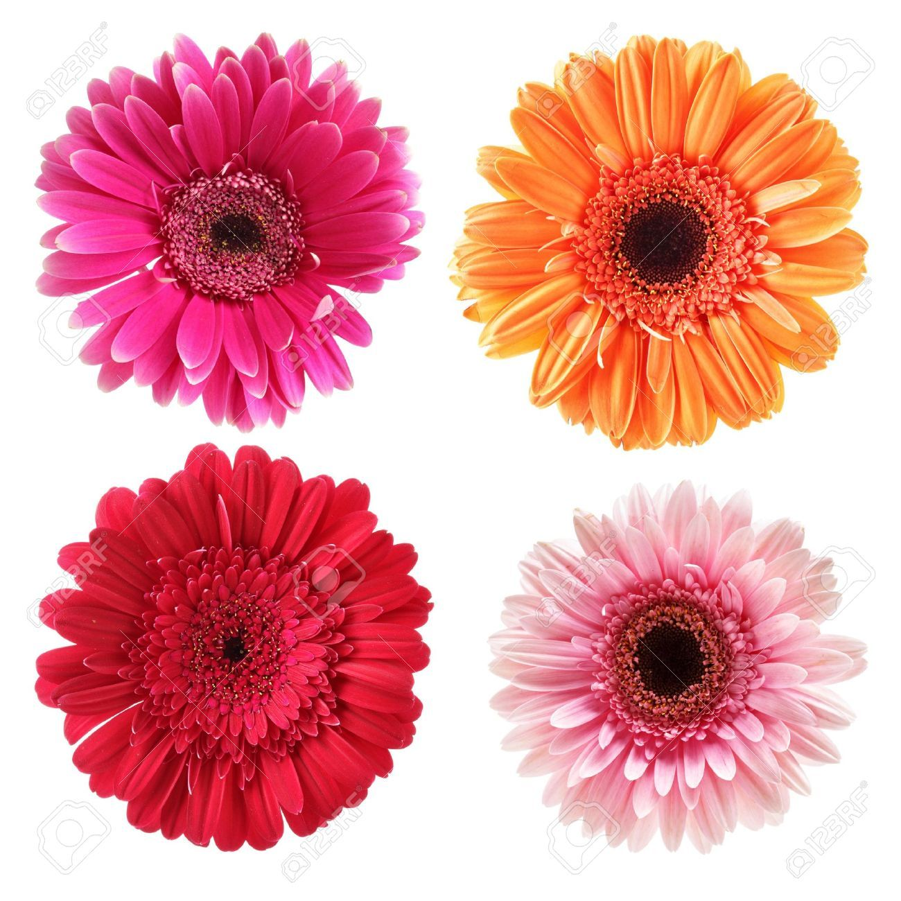 5224550 Daisy Flowers Isolated Over White Background Stock Photo Daisy Gerbera Pink Jpg Jpeg Image 1300 October Flowers Daisy Flower Paper Flowers