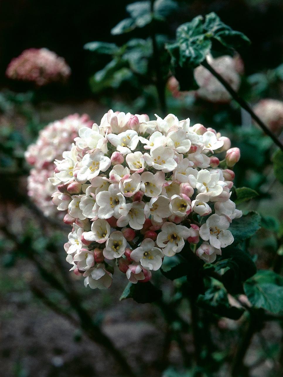 Shade Tolerant Flowering Shrubs: Shade-Tolerant Plants For Woodland Gardens