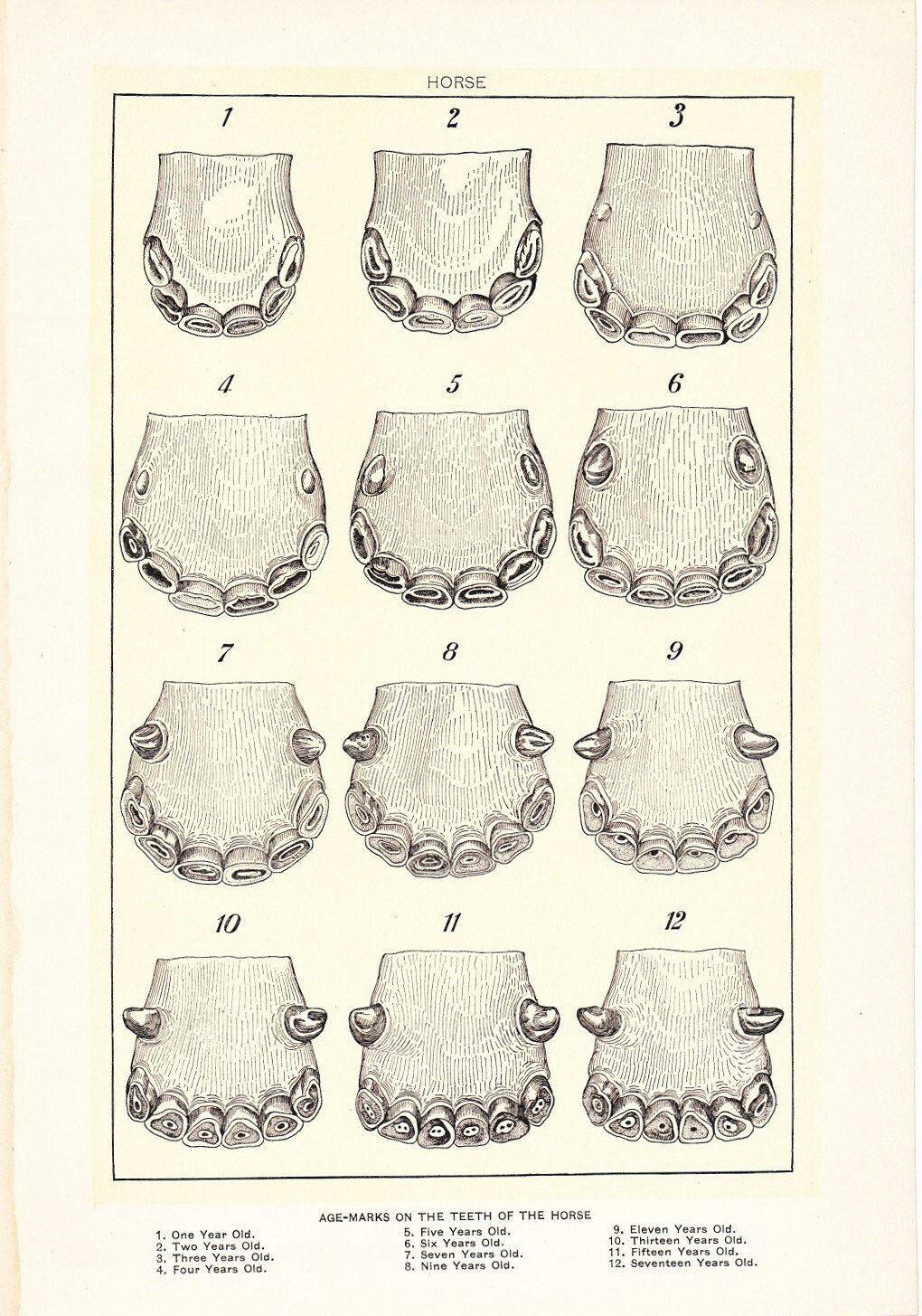 Equine teeth- age :)   Veterinary Medicine   Pinterest   Teeth ...