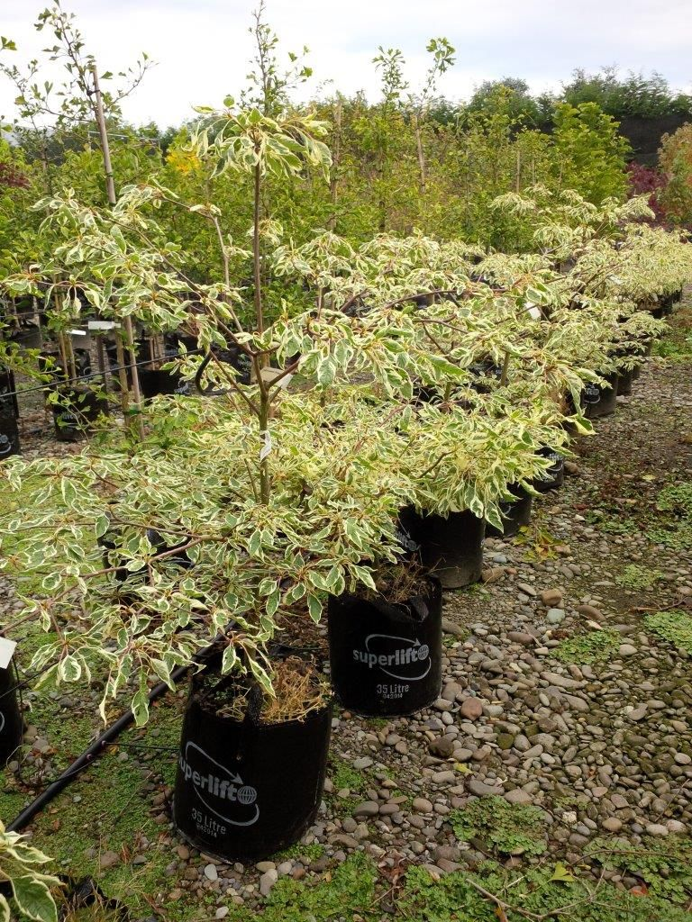 Cornus Controversa Variegata Wedding Cake Tree Has Beautifully Tiered Branches With Strikingly Variegated