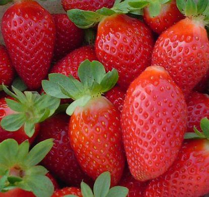Fraise - Planter des fraisiers - Jardinage bio   Fraisier ...