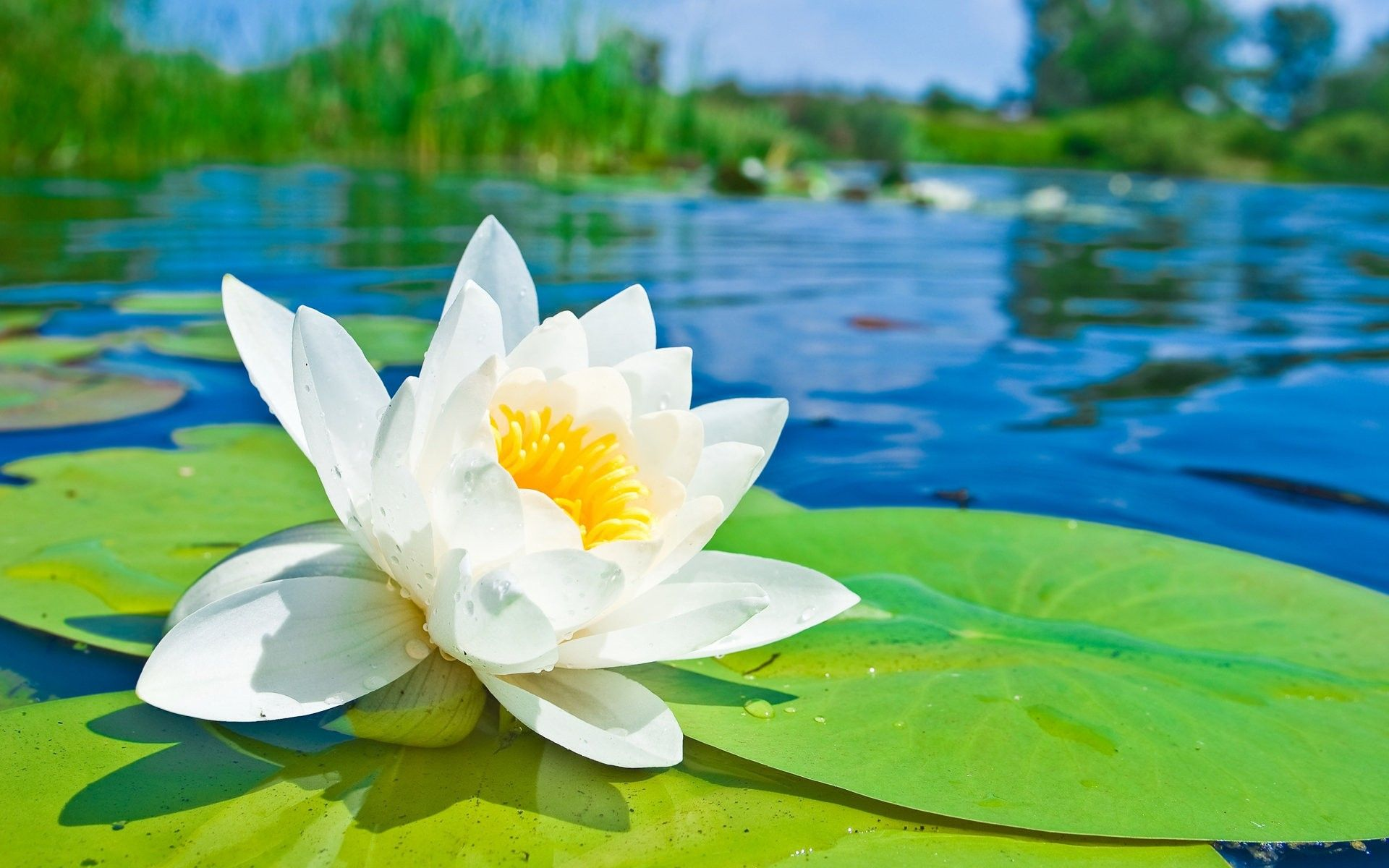 Nature Flowers White Lotus On The Lake Hd Wallpaper Pinterest
