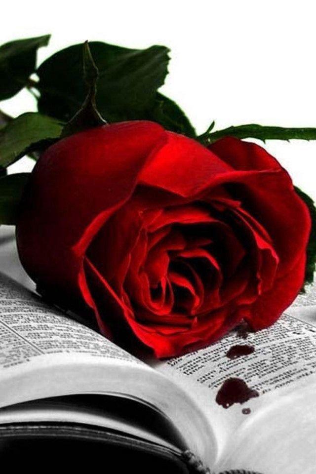 Bleeding Rose 3 Roses 3 Black White Books Rose Red Roses