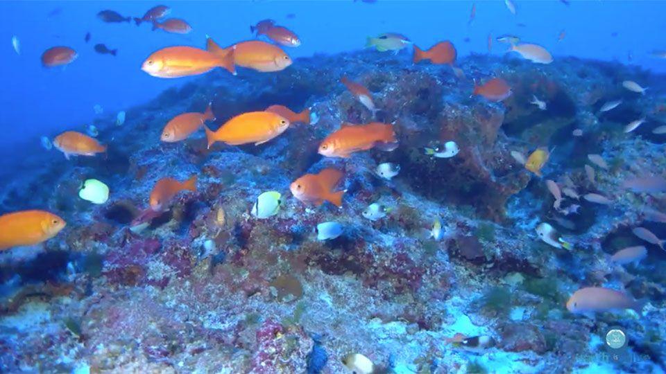 Rov Footage National Marine Sanctuary Fish Beautiful Fish