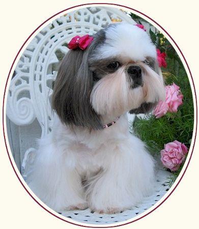 Shih Tzu Photos Tian Mi Shih Tzu Puppies Shih Tzu Puppy Shih Tzu Shitzu Dogs