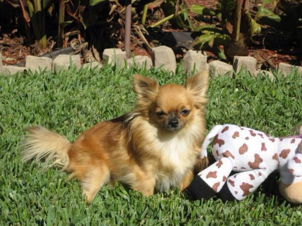 Abby the Long Haired Chihuahua
