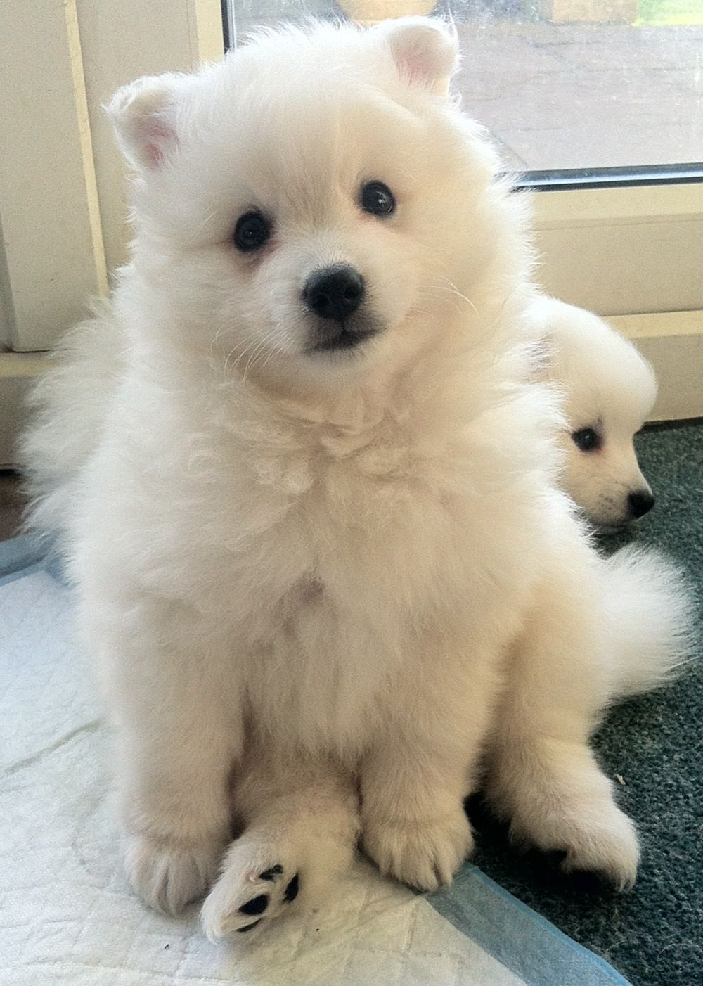 Japanese Spitz Yuki At 7 Weeks Eldoobio Japanese Dogs