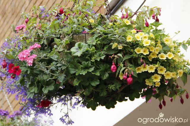 Galeria Zdjec Kwiaty W Wiszacych Koszach Sadzenie I Pielegnacja Ogrodowisko Plants