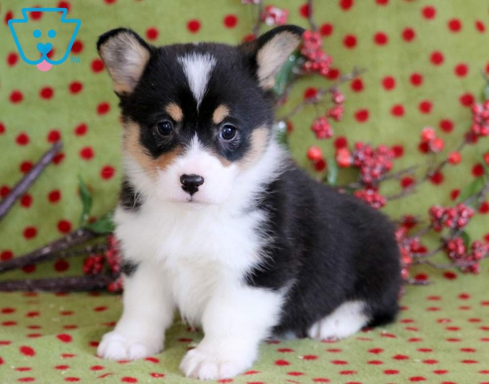 Lexi Corgi Puppies For Sale Welsh Corgi Puppies Pembroke Welsh