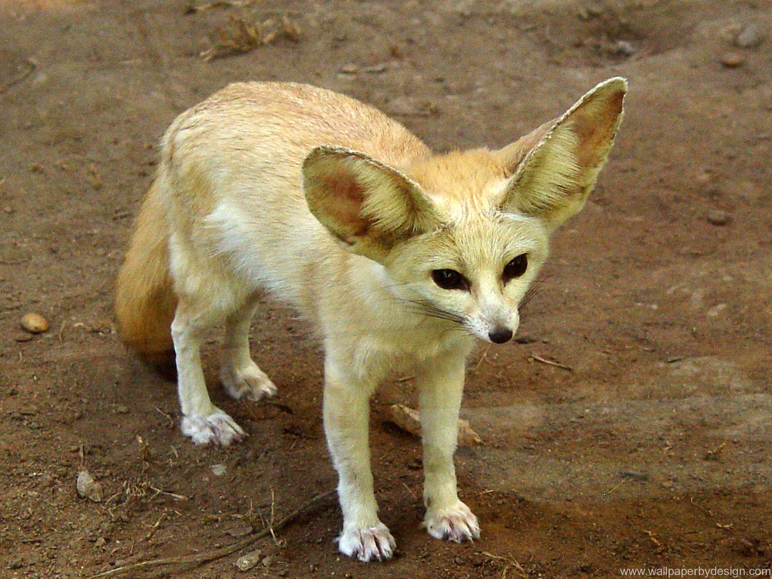 desert fox Google Search Pet fox, Fennec fox, Animals