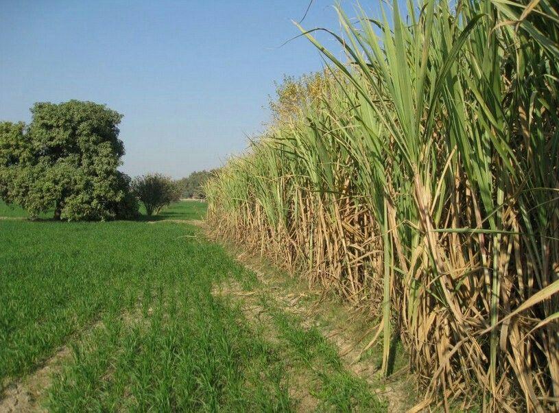 Mitthe Ganne Sugarcane Field Village Photography Village Pakistan