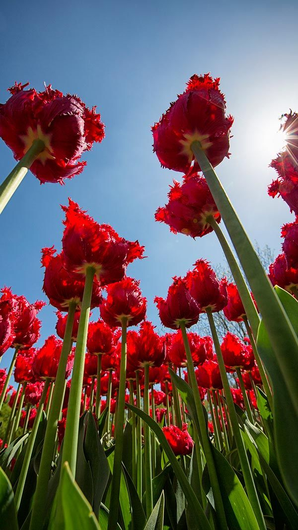 Tulips Reaching For The Sun At Longwood Gardens In