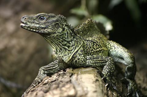 Weber's Sailfin Lizard (Hydrosaurus weberi) found in Indonesia. | Reptiles, Reptiles and amphibians, Amphibians