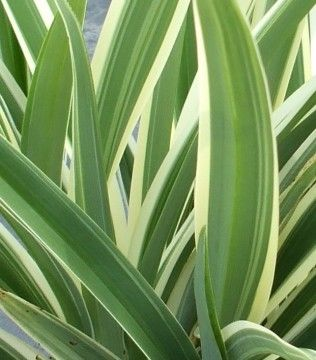 Variegated Flax Lily Shade Perennials Plants Annual Plants