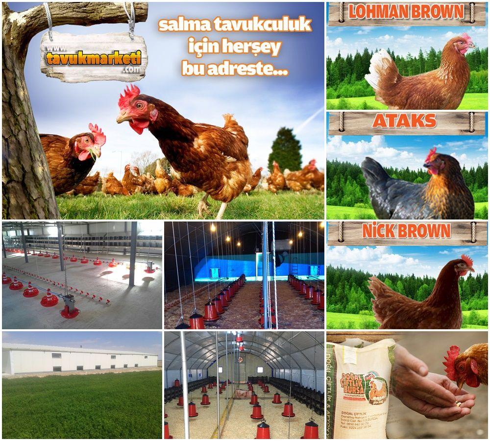 Anahtar Teslim Tavuk çiftliği Fiyatları Wwwdogalciftliknet Tavuk