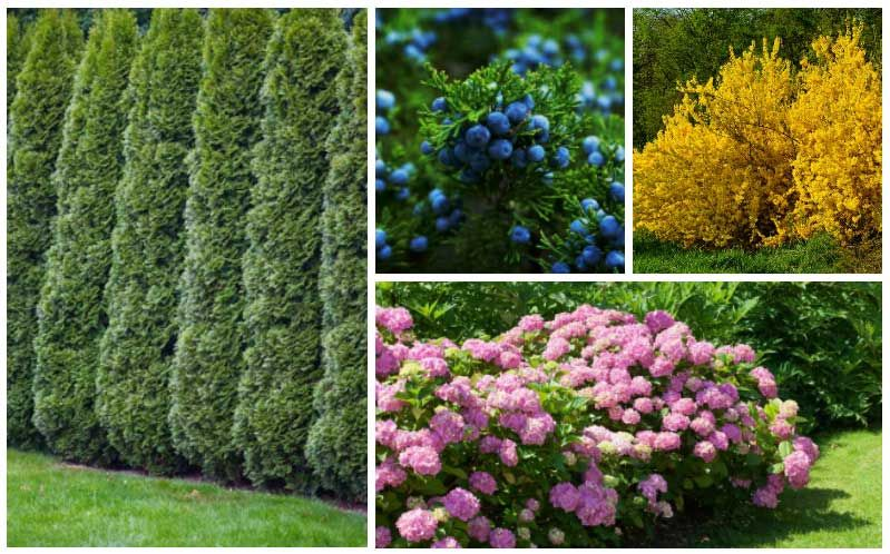 15 Fast Growing Privacy Shrubs Bushes Shrubs For Privacy Fast Growing Privacy Shrubs Bushes And Shrubs
