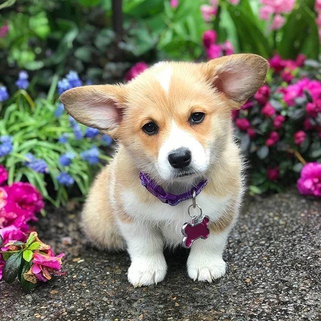 Pembroke Welsh Corgi Cardigan Welsh Corgi Corgi Puppy Corgis For