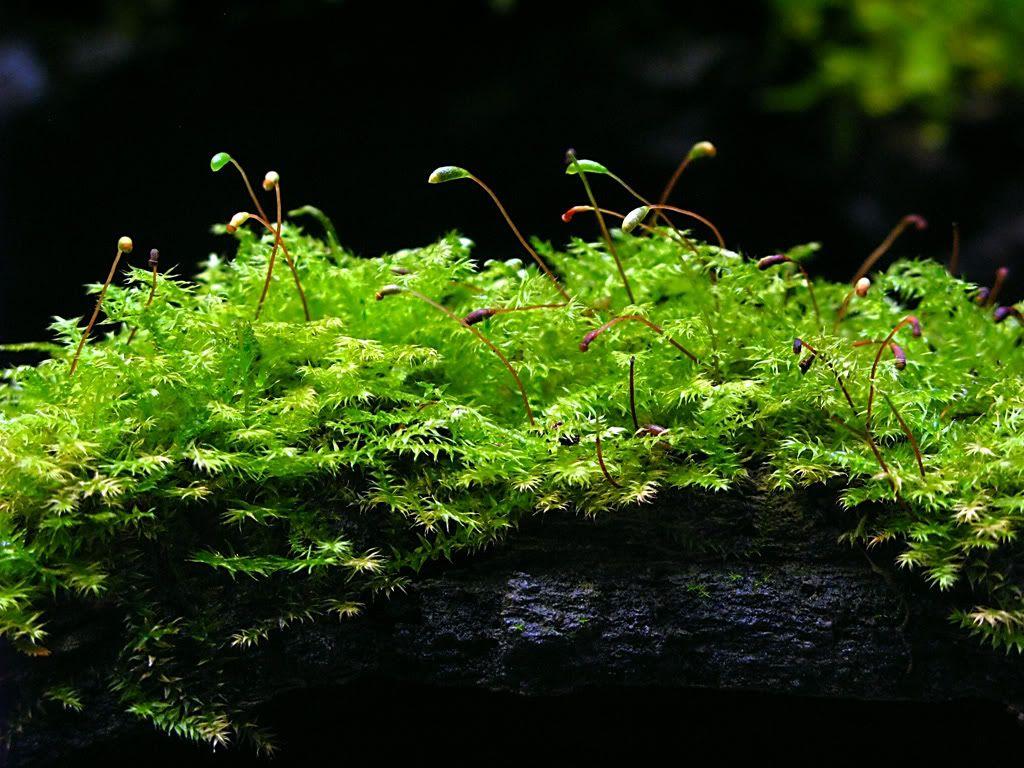 Christmas Moss - Vesicularia montagnei | Vivarium, Beautiful terrariums, Moss