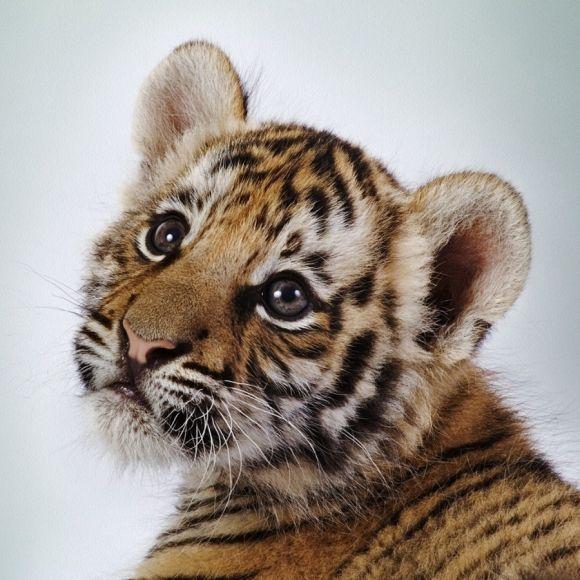 Cachorros de tigres - Imagui