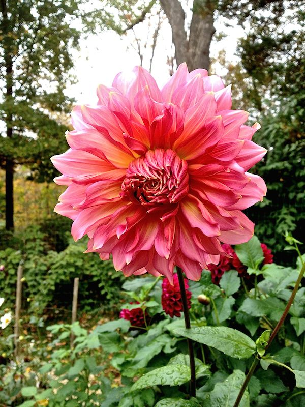 In The Studio Video With Susanna Salk And Frances Palmer Dahlia Flower Plant Fungus Dahlias Garden