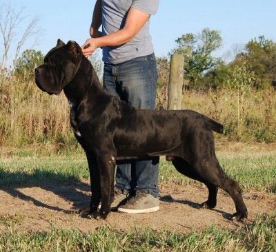 Image For The Most Dangerous Dog Breeds Puppy Toob