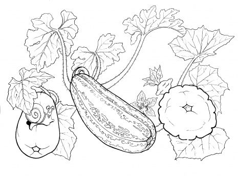 Coloring Picture Of Squash Squash Coloring Page Super Coloring