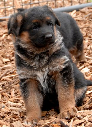 Fantastic German Shepherd Chubby Adorable Dog - 1cd6527ce84af3e911a3b06615c97440  Perfect Image Reference_311310  .jpg