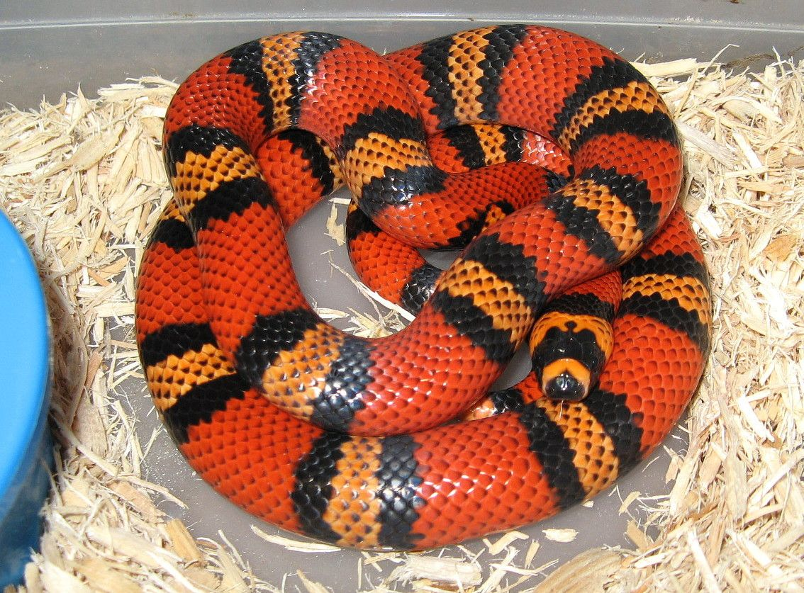 10 Most Beautiful Snakes on Earth | Beautiful snakes, Milk ...