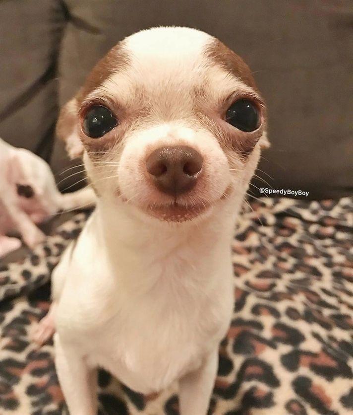 Follow Me If You Love Chihuahua Via Hunde