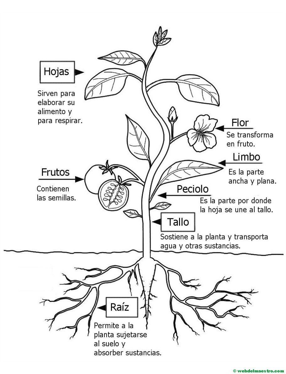 Partes de una planta para niños de Primaria | Plantillas para ...
