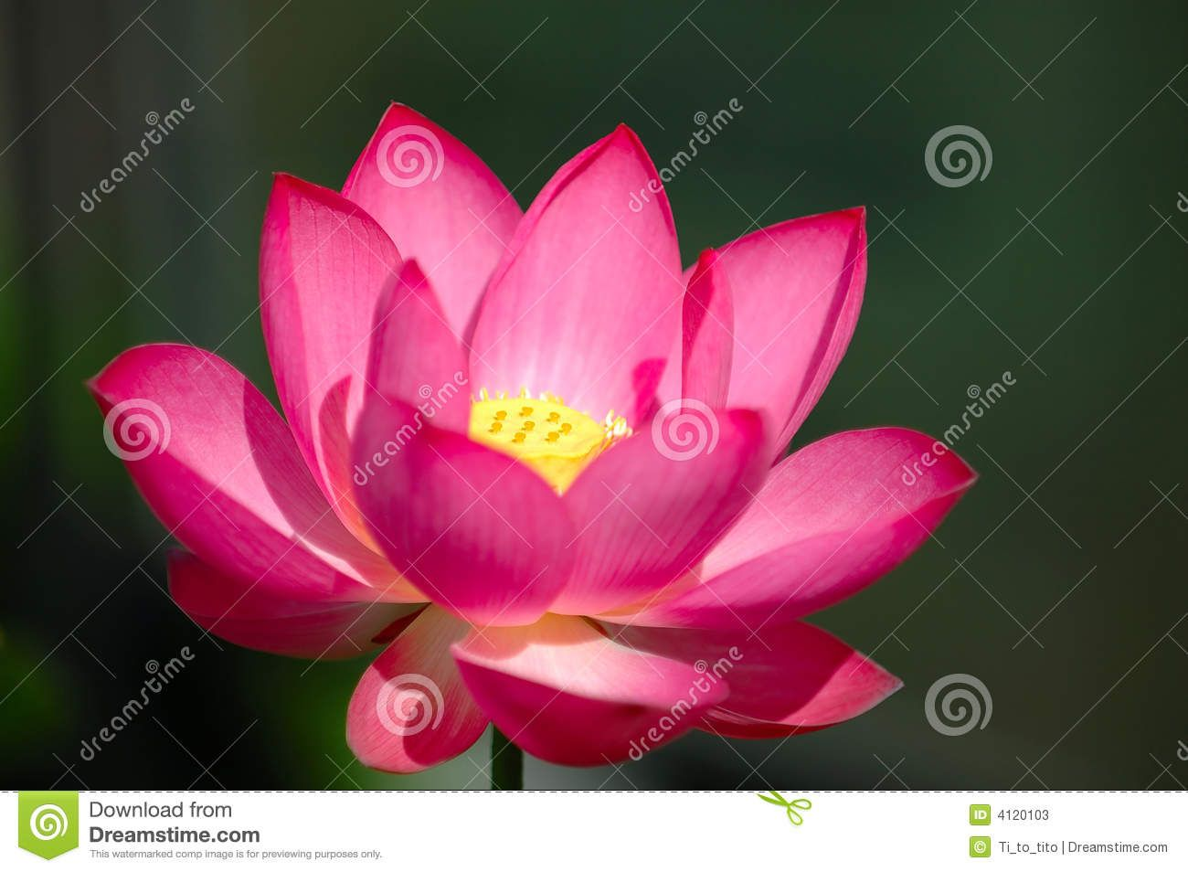 The blooming pink lotus flower stock photos image 4120103 the blooming pink lotus flower stock photos image 4120103 izmirmasajfo