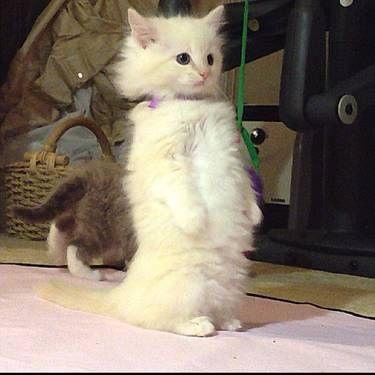 Meet My Ragdoll Kitten Caspian Ragdoll Kitten Cat Watch