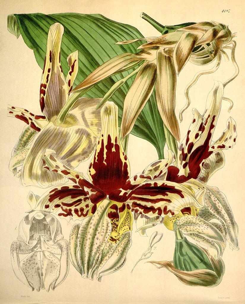 Stanhopea tigrina - circa 1845