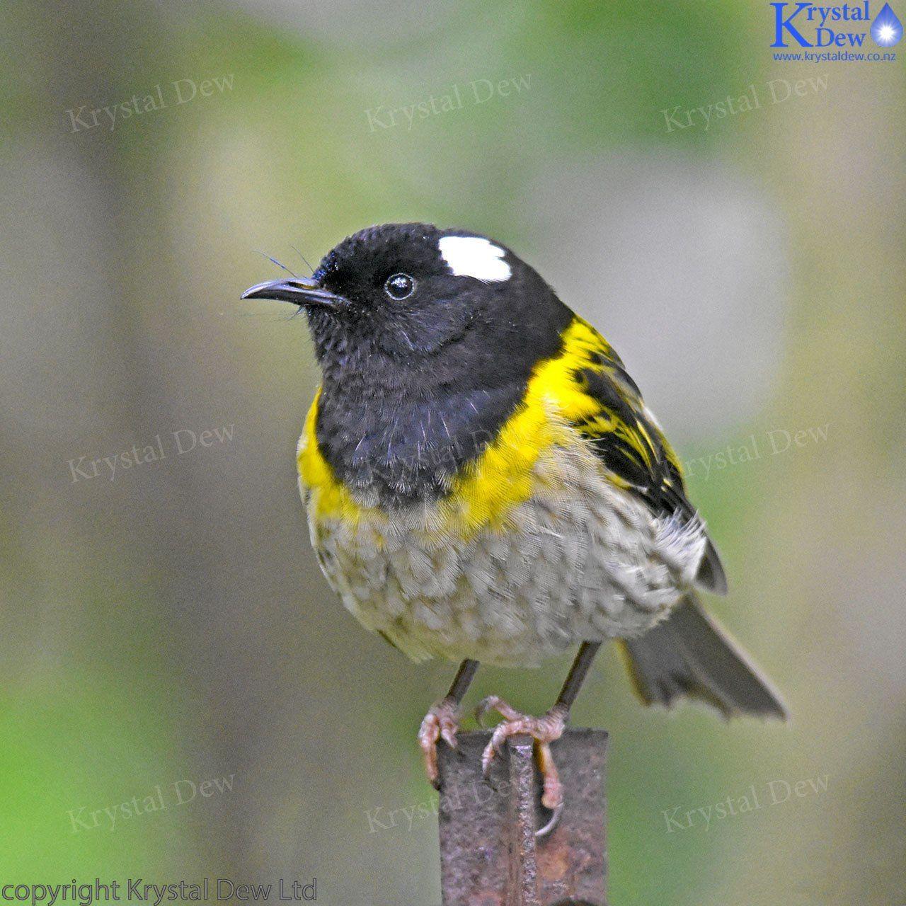 シロツノミツスイ Stitchbird, Hihi (Notiomystis cincta) | Beautiful ...