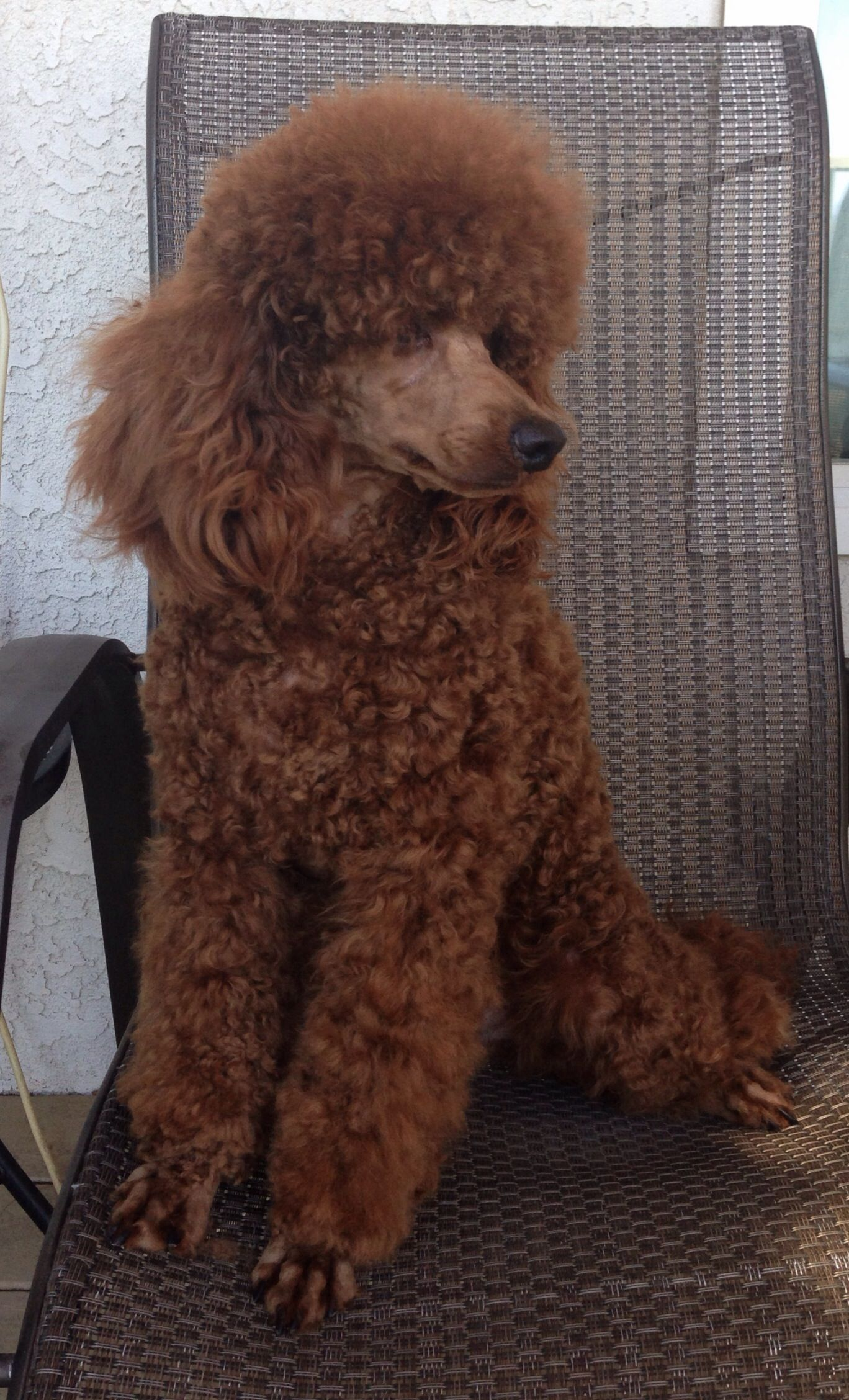 Mario All Groomed Pretty Red Poodle Poodle Red Poodles Black