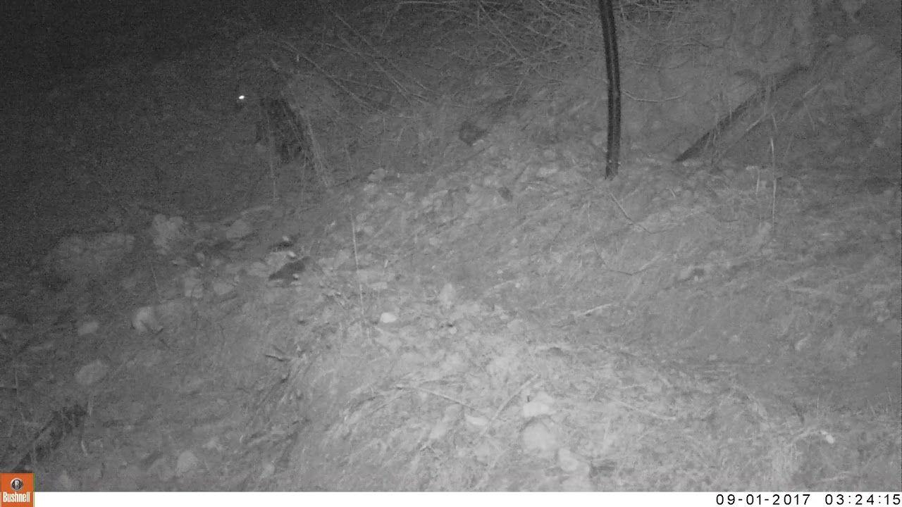 Common / Civet Cat camera trap Spain 2017 Cat