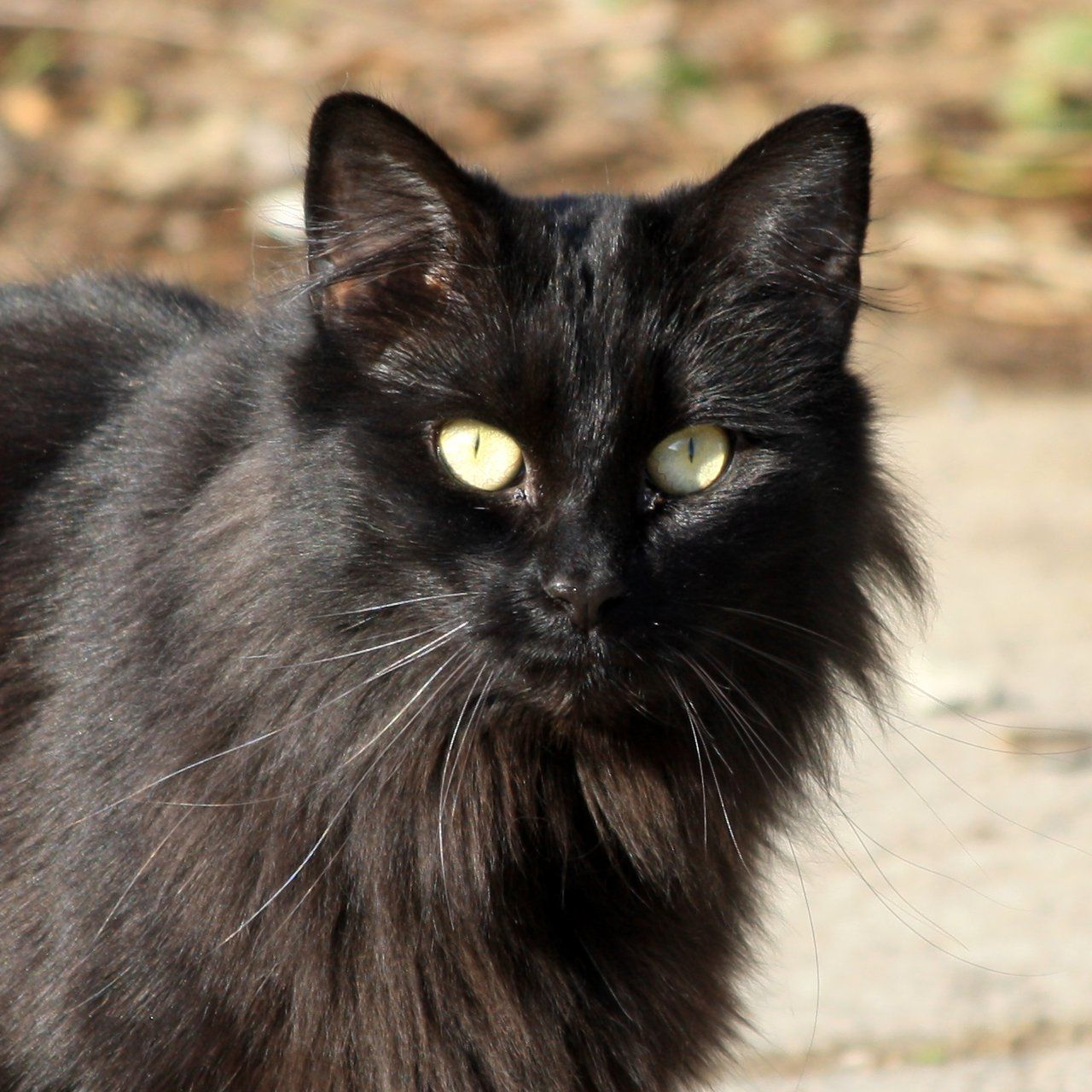 Black Fur Female Brooke Catsrock Fluffy Black Cat Cats Yellow Cat