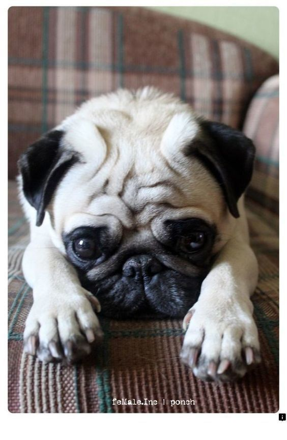 Stunning Hand Crafted Pug Accessories And Pug Jewelery Available