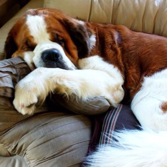 Huge St. Bernard on a couch. May I pllleeeeaase just go and snuggle him???
