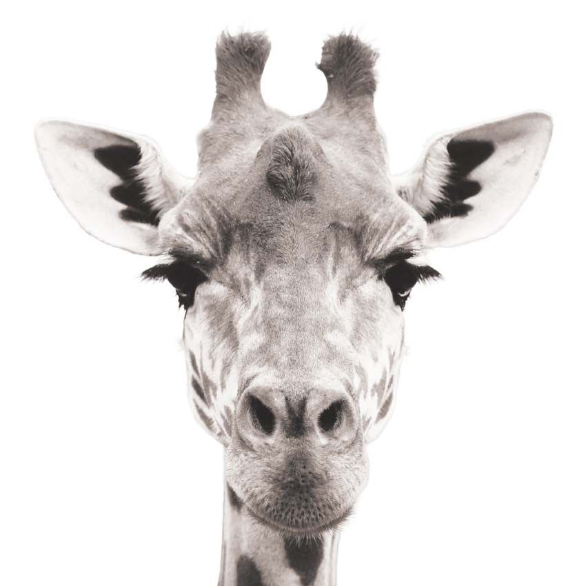 Sticker photo animal plus vrai que nature ! - Tête de girafe