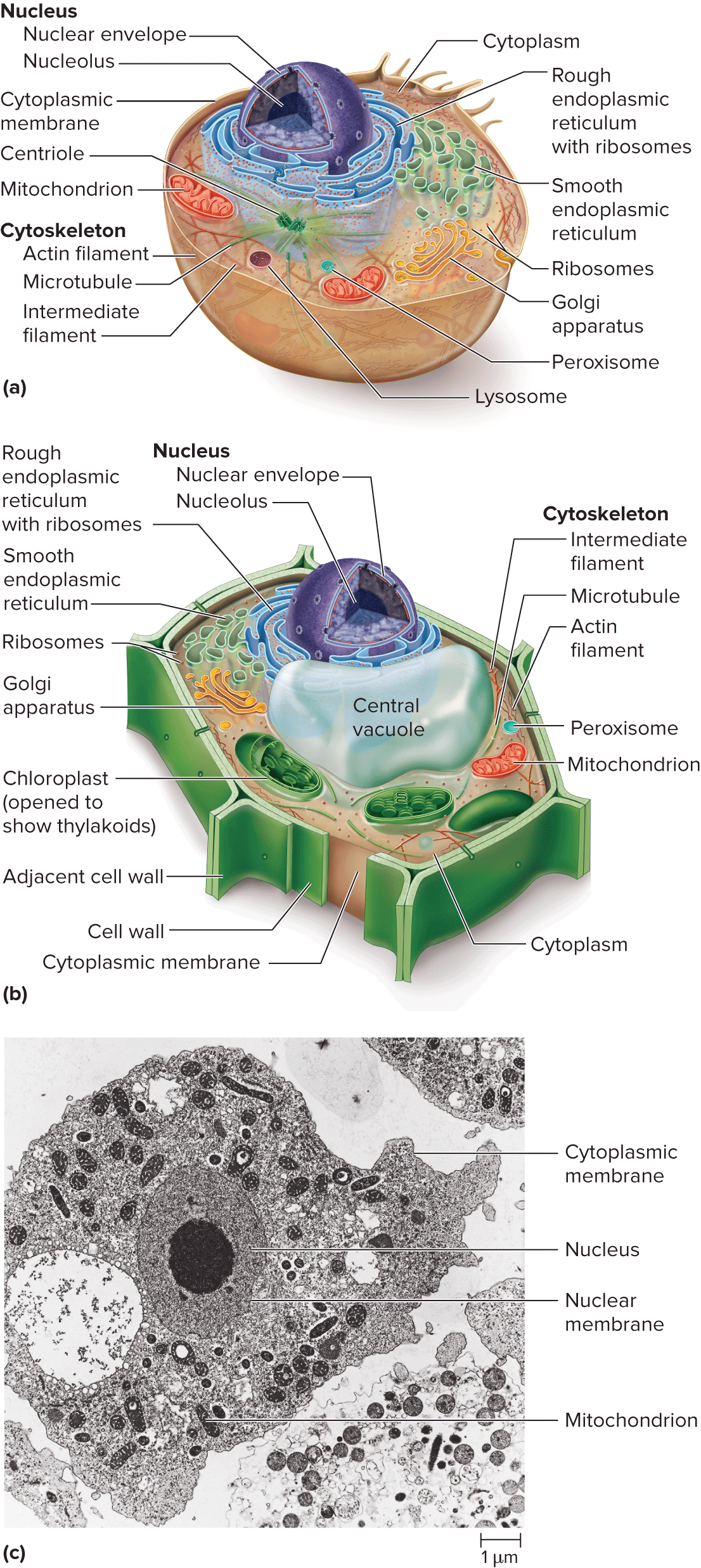 Diagram Of Eukaryotic Vs Prokaryotic Cell Tem Of