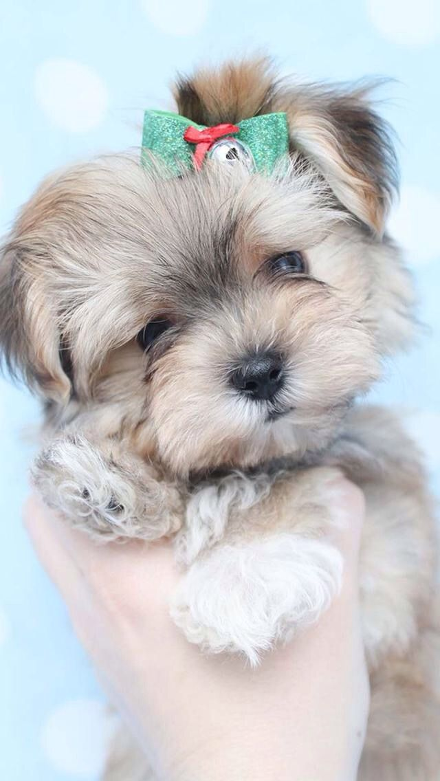 Pin By Jackie Russell On Fofuras Morkie Puppies Puppies Cute Animals