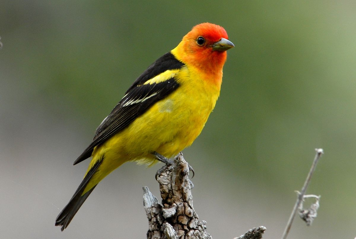 A Small Yellow Bird With A Red Face Perches On The End Of A Stick