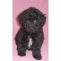 Puppies For Sale Bichpoo Bichonpoo Poochon Bichpoo Poochon F Category In Seville Ohio Poochon Dog Puppies For Sale Puppies
