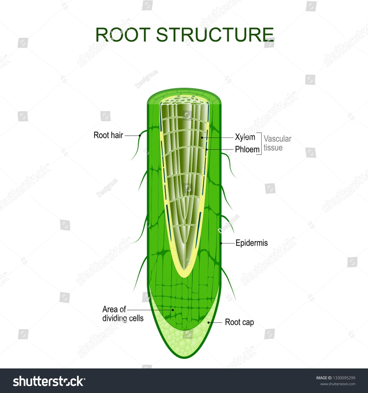 Root Structure Plant Anatomy The Cross Section Of The